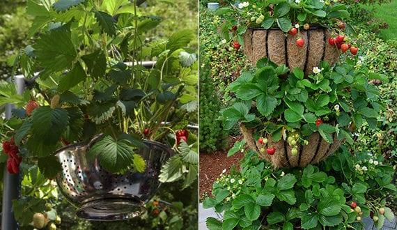 erdbeeren pflanzen in diy containers coole garten ideen freshouse. Black Bedroom Furniture Sets. Home Design Ideas