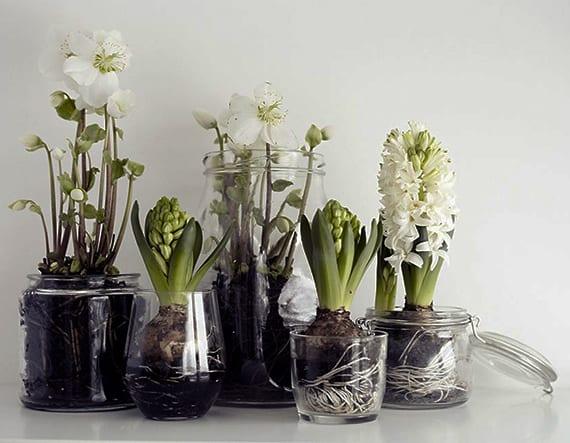 schicke zimmerdekoration mit weißen Hyazinthen und Christrosen in Gläsern