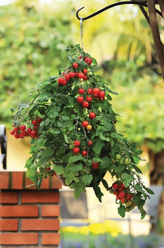 die blätter der tomatenpflanze vetreiben die mücken