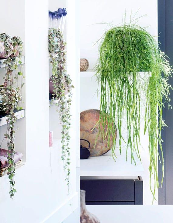 hängende rhipsalis-kakteen für attraktive zimmer und wanddekoration