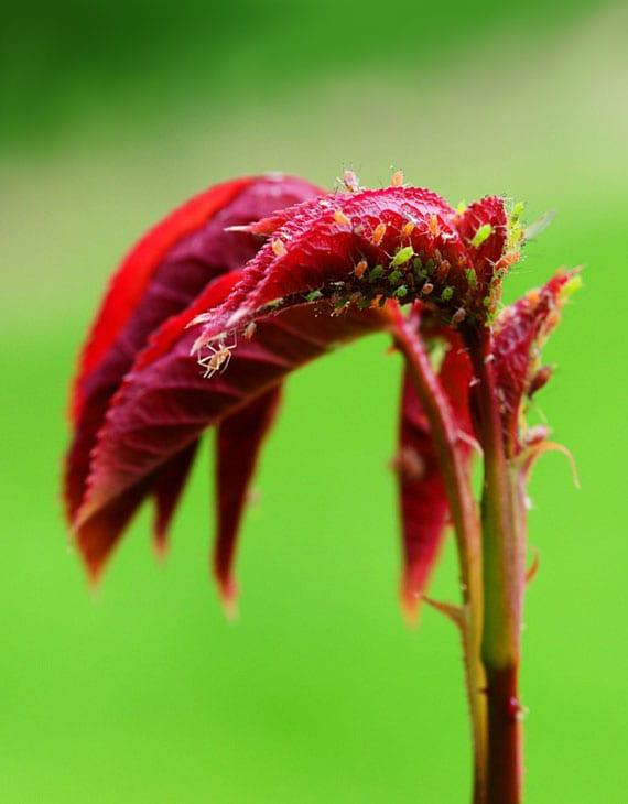 die regelmäßige kontrolle der pflanzen hilft Blattläuse vorzubeugen