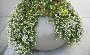 tolle balkonidee für kleinen garten aus weißen sommerblumen im großen betonkübel