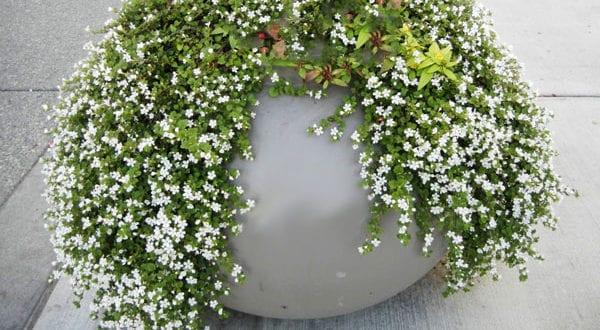 Mit Schneeflockenblume ein prachtvolles Blütenmeer auf dem Balkon schaffen