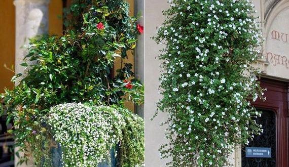balkon-mit-prachtvollem-Blütenmeer-aus-weiß-blühender-Schneeflockenblume-attraktiv-begrünen