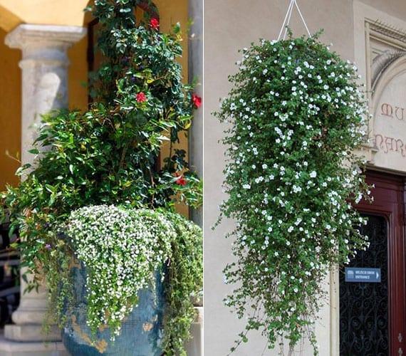 Schneeflockenblume ist die perfekte sommerpflanze für hängeblumentöpfe