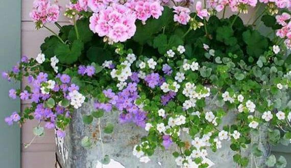 coole-gestaltungsidee-für-balkon-mit-Blütenmeer-aus-schneeflockenblume-und-geranien