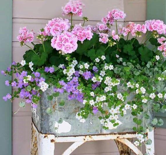 coole balkon ideen mit balkonpflanzen in weiß, lila und rosa farbe_bacopa und geranien in vintage-metalkübel zusammen pflanzen