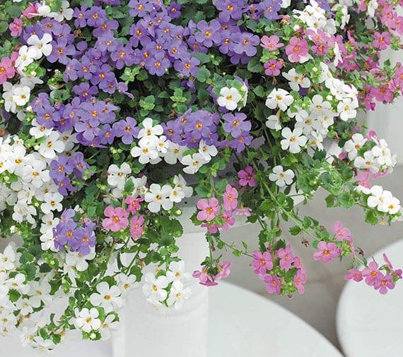 balkon und terrasse im sommer beleben mit bacopa pflanzen in weiß, lila und rosa