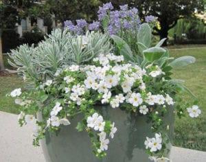 eine-echte-gartenoase-auf-dem-balkon-gestalten-dank-der-zarten-Blüten-der-Schneeflockenblume