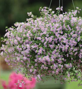 lilafarbige-Schneeflockenblume-im-Hängeämpel-für-romantische-Balkondekoration-mit-einem-Blütenmeer