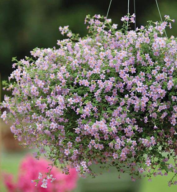 terassengestaltung mit lilafarbigem Blütenmeer der Bacopa Sorte Blutopia im Blumenampel