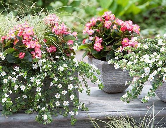 kleiner bunter garten auf dem balkon gestalten durch die kombination von rosafarbigen begonien und weißblühender bacopa