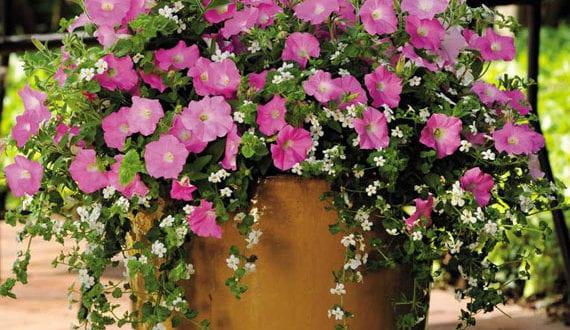 tolle-blumenkombination-für-den-balkongarten-mit-schneeflockenblume-und-petunien-in-einem-kübel