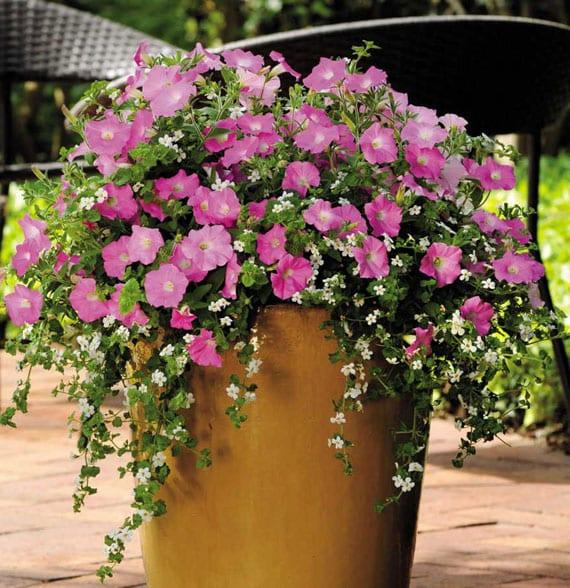 rosafarbige petunien und weiße bacopa in großen blumekübel pflanzen und balkon effektvoll gestalten