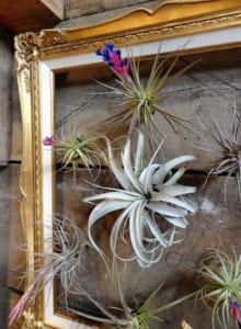 attraktive-DIY-Wanddeko-für-holzwandverkleidung-mit-Tillandsien-Pflanzen-in-goldenem-bilderrahmen-mit-ornamenten