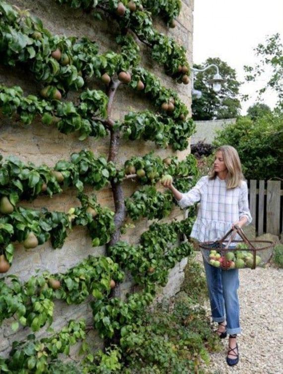coole gartengestaltung ideen für obstbaumzucht und vertikale begrünung mit spalier
