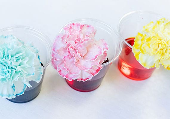 weiße blumen färben_einfache experimente für kinder