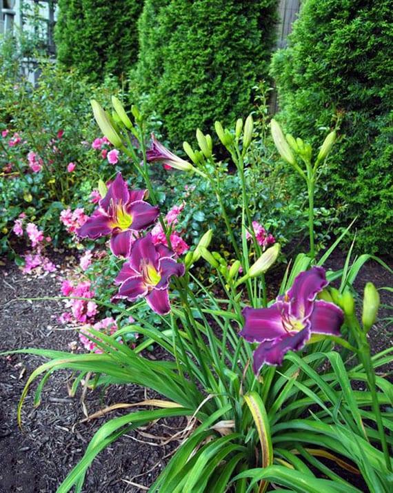 coole garten ideen für begrünung mit rosen und taglilien in zartem rosa-lila-farbschema