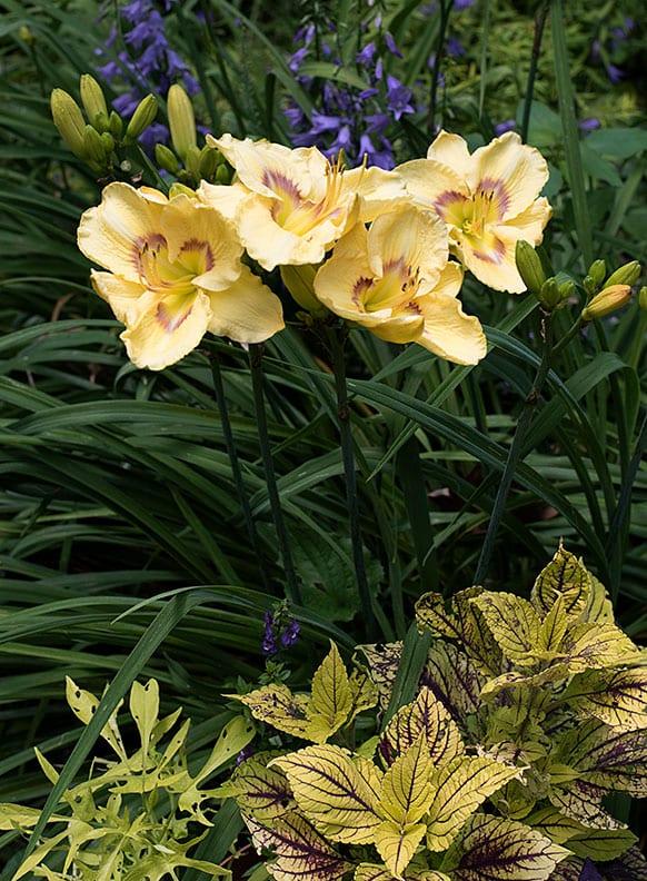 coole garten ideen mit gelben tagilien, Buntnesseln und blauen glockenblumen