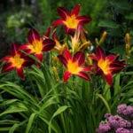 Hemerocallis der Sorte 'Ruby Spider' als Solitärpflanze im garten