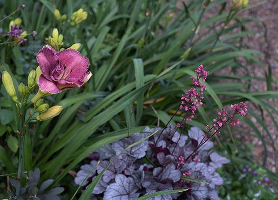 rosafarbige Taglilien als attraktivsten Pflanzen im Gartenbeet