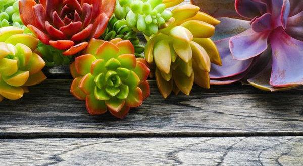 Sukkulenten – Die besonderen Zimmerpflanzen