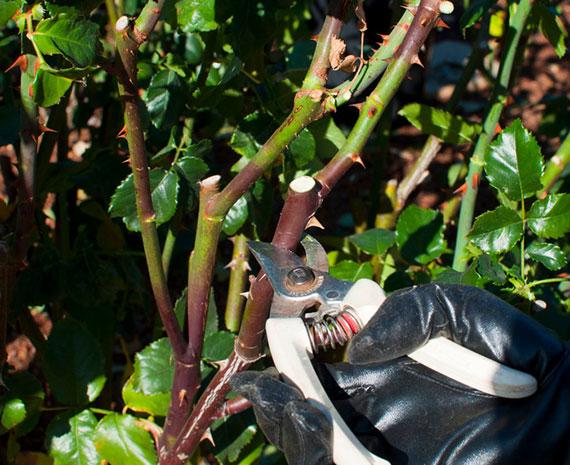 Gartenarbeit im Frühjahr_einen Rückschnitt der Rosen sorgt für kräftige Blüten