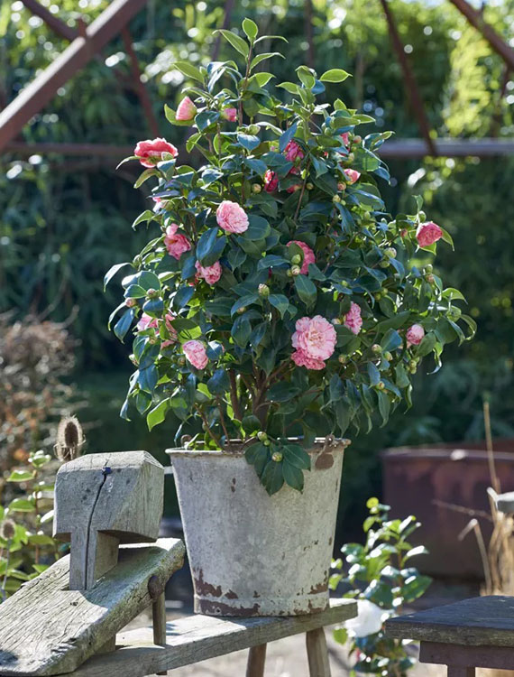 mit winterharten Kübelpflanzen auch im kalten Winter nicht auf blühende Pflanzen im Garten verzichten