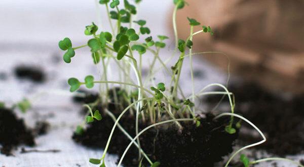 Das Superfood Microgreens selber anbauen und genießen