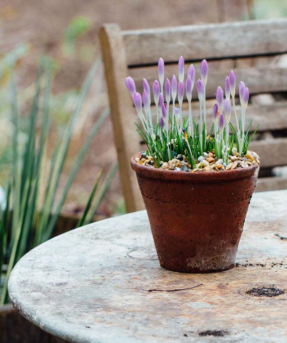 Krokus ist ein der ersten Frühblüher des Jahres und produziert Eigenwärme