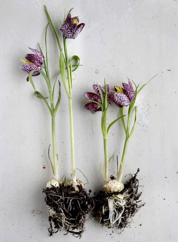 die mehrjährige Schachblume mit haselnussgroßen Zwiebeln ist von August bis November einzupflanzen
