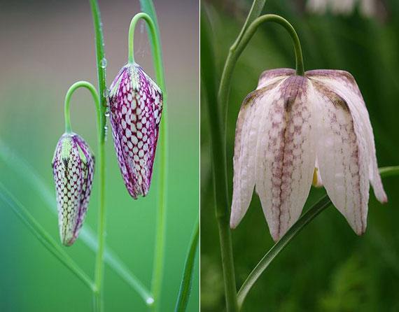 bei näherer Betrachtung erscheint die purpur-weiß getupfte Musterung dieser Frühlingsblume wie ein Schachbrett