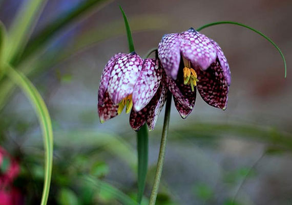 die Schachblume ist eine absolute Individualistin mit verschiedenen Farbabweichungen von tiefem Violett bis zu hellem Braunrosa