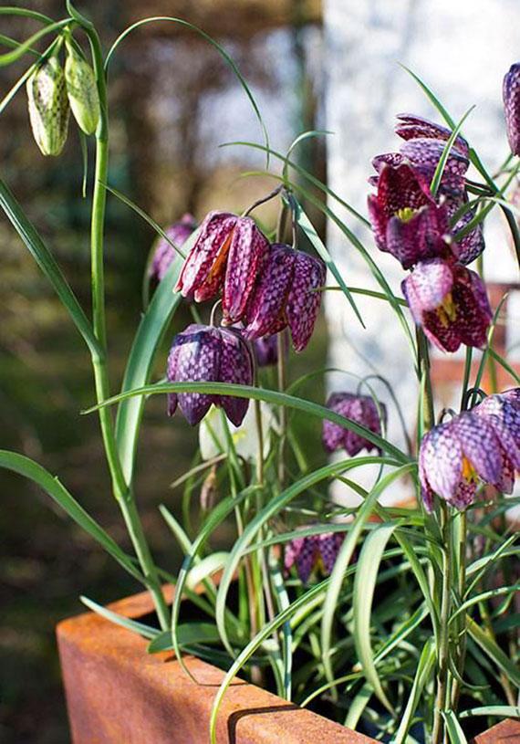 terassengestaltung im frühling mit schachbrettblumen im blumentopf
