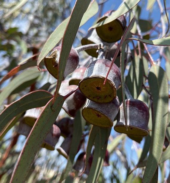 Reiseziel Canberra und das National Arboretum_eine Urlaubsoase mit attraktiven Baumgärten und Wanderwegen