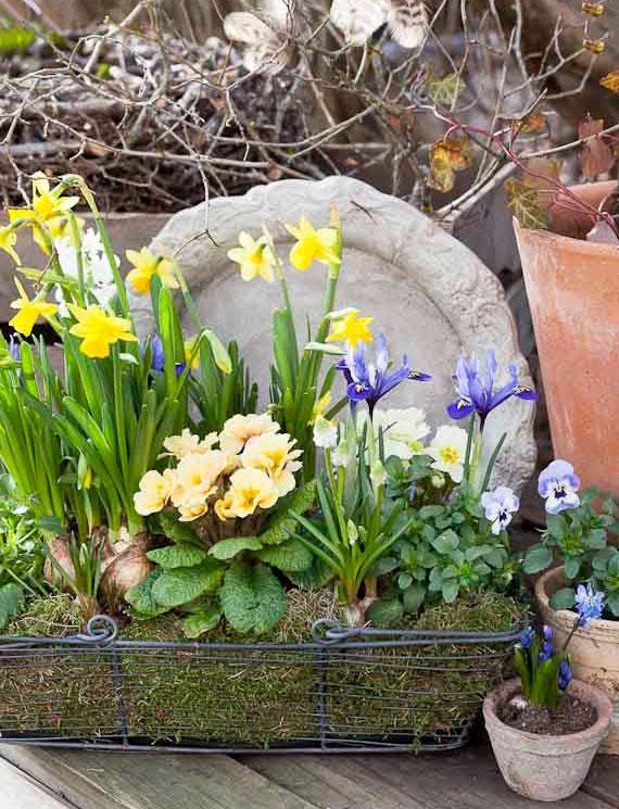 coole Blumendeko für Garten und Terrasse im Frühling mit Narzissen, Primeln und Netzblatt-Iris in einem Drahtkorb