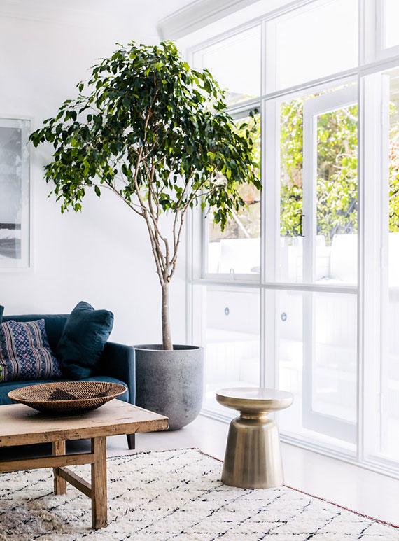 welche Zimmerpflanzen verwandeln Kohlendioxid in frischen Sauerstoff_der Ficus als Solitärpflanze im Wohnzimmer